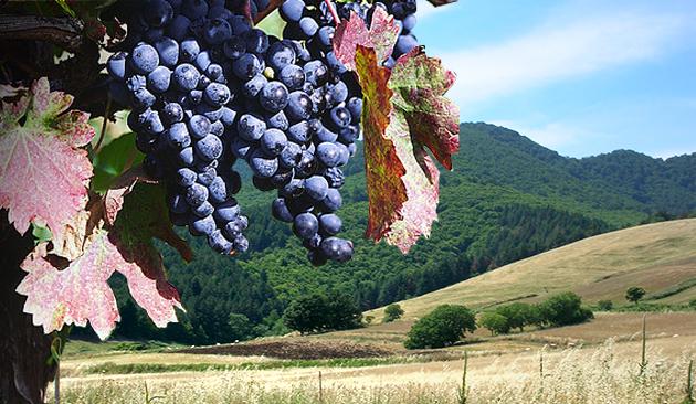 vitigno aglianico