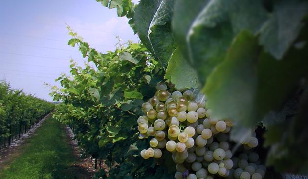 vitigno prosecco