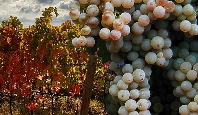 vitigno verdicchio