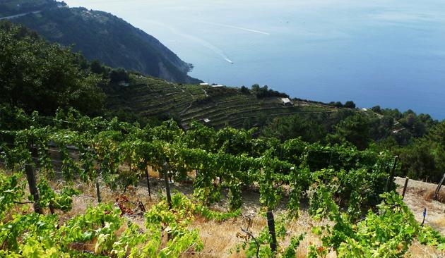 viticoltura ligure