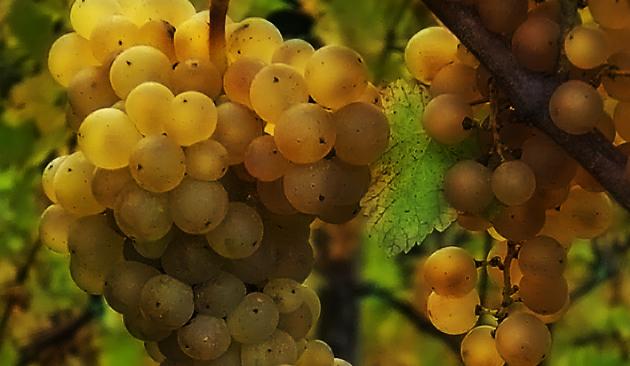 vitigno ribolla gialla di Oslavia
