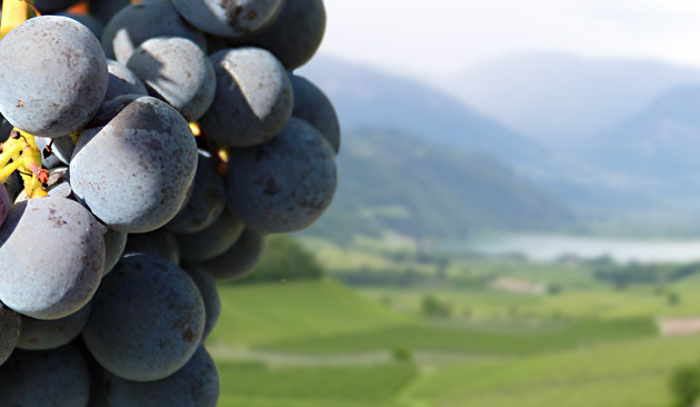 Alla scoperta dei vitigni: Schiava.