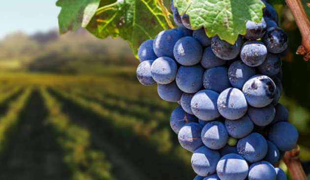 vitigno Pinotage