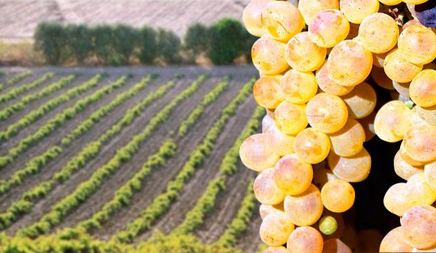 vitigno Vermentino
